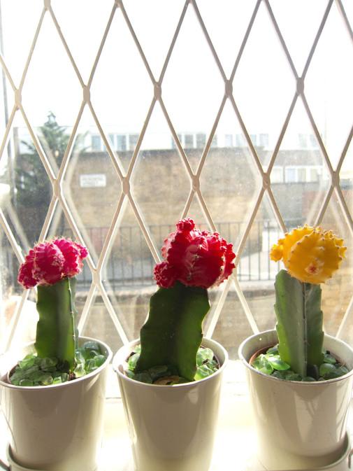 Kaktus na prozoru