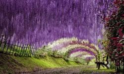 Wisteria tunel u Japanu