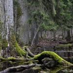 Šuma Bjalovježa