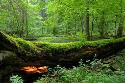 Šuma Bjalovježa slika 10