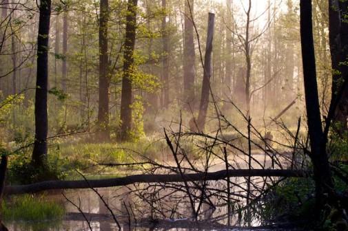 Šuma Bjalovježa slika 2