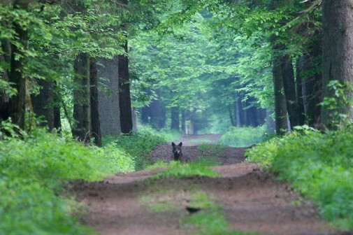Šuma Bjalovježa slika 8