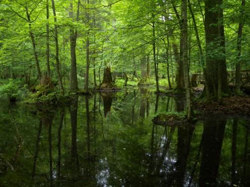 Šuma Bjalovježa slika 9