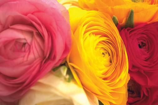 Vise ruža