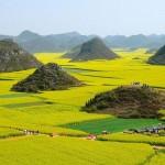 Polja uljane repe u Kini